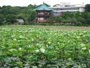 Shinobazu