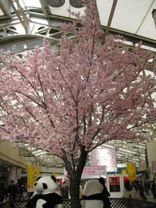 Sakurapanda